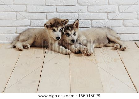 two cute adorable husky puppy or dogs domestic pet with black nose and gray soft fur laying on vintage wooden floor on brick white wall background copy space