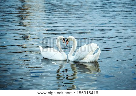 Mute swans and ducks waterfowl wild birds swim on blue water on river or lake background