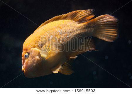 Midas cichlid (Amphilophus citrinellus). Freshwater fish.