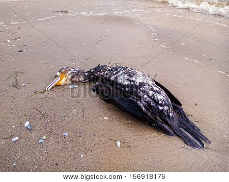 Dead cormorant on the beach. Black Sea. Ukraine.