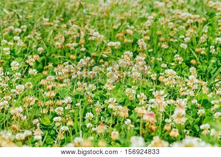 Close-up Meadow Of White Shamrocks Flowered With Sunlight