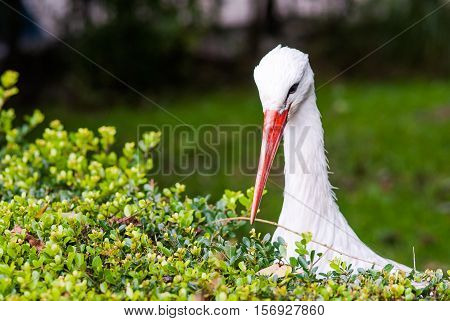 The white stork foraging on a wateredge at the park Netherlands