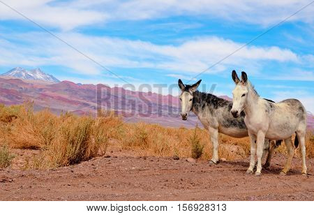 Donkeys standing on the side of the road in the Atacama desert with a mountain range in the background and a blue sky with clouds close to San Pedro de Atacama in Chile South America