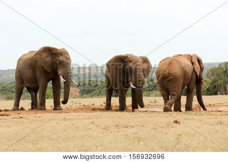 Bush Elephant Showing Who's The Boss