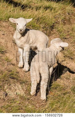 close up of two curious little lambs