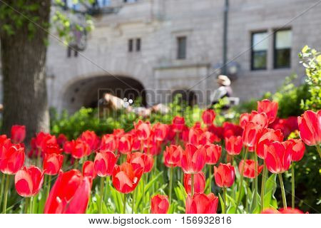Tulips in the foreground with a horse and carriage in the background in front of historic Chateau Frontenac in Quebec City