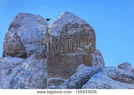 chamois (Rupicapra Carpatica) on mountain. Ciucas Mountains Romania