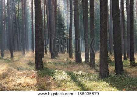 The photo shows a pine forest. Among the trees, floating fog illuminated by sunlight, creating streaks of light.