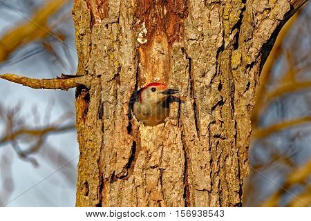 A Red-Bellied Woodpecker peers out of it's hole.
