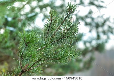Pine Tree Branch In Close Up