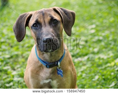 Portrait of brown dog with black nose