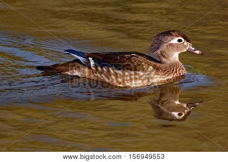 A female Wood Duck floats on the calm pond waters.