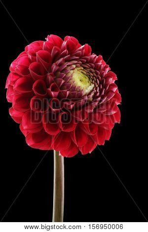 Claret red dahlia isolated on black background