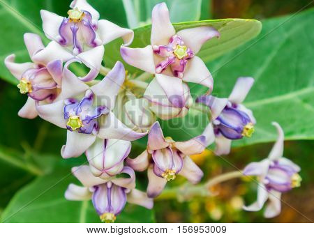 Crown flower purple color on tree with soft and blur background