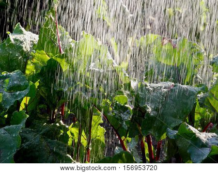 Water pours down on vegetables(beets) in the garden like heavy rain backlit by the bright sun.