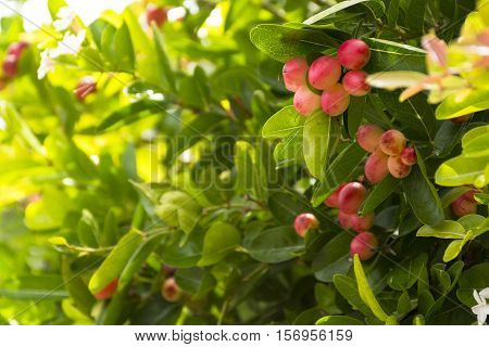 Karanda tree or Carunda or  christ's thorn fruit for health and herb.Zoom in.