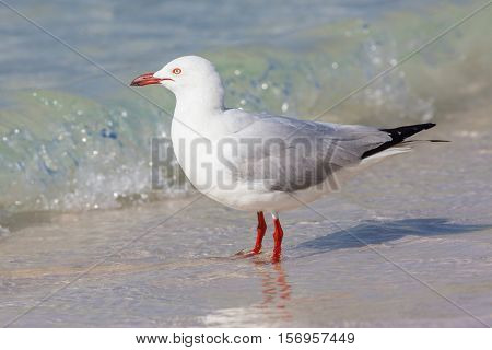 The Silver Gull (Chroicocephalus novaehollandiae) is the most common gull seen in Australia. It has been found throughout the continent but particularly at or near coastal areas.