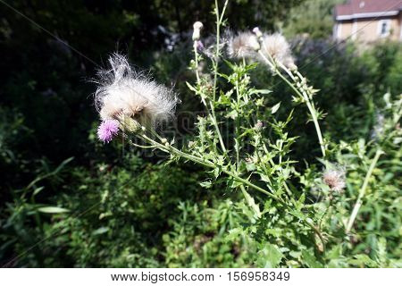The flowers and seed heads of creeping thistle plants (Cirsium arvense), also called the Canada thistle, in a yard in Harbor Springs, Michigan during August.