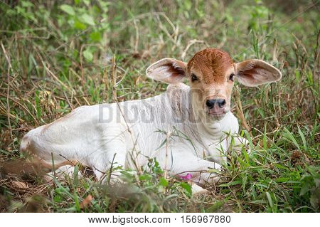 Little white cow calf that sits in the meadow.