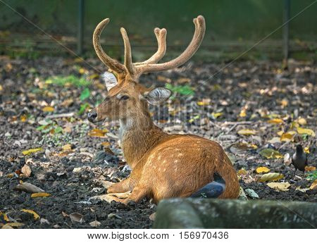 Indian spotted deer at a wildlife park in Kolkata. The chital or cheetal also known as the axis deer, is found primarily in the Indian subcontinent.
