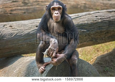 Baby Chimpanzee at a zoo in Kolkata. Among all apes this species of monkey are considered closest to humans in behavioral traits.