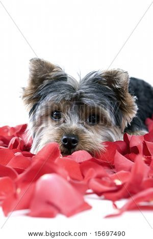 Adorable Yorkie puppy in rose petals