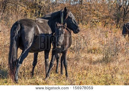 Black mare and foal in natural environment on autumn forest background