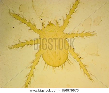 Human flea (Pulex irritans) - permanent slide plate under high magnification softfocus