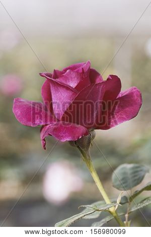 Closeup Pink Rose in the garden and blurred background