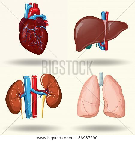 Human organs set, kidneys and liver, heart and lungs, creative cartoon design, isolated on white background, with shadow, vector