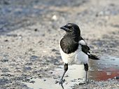 Impudent and mean magpie standing in an oil pool. poster