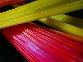"""Closeup of the multicolored rainbow stalks of the swiss chard """"bright Lights"""" variety for colorful cooking from an organic edible garden poster"""