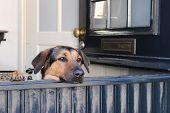 Dog is looking through the open door poster