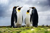 4 King Penguins standing together, Falkan Islands poster