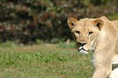 A female African lioness stares intently as she crosses an open field. poster