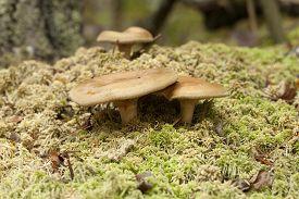 inedible mushrooms (Paxillus involutus) on dry moss