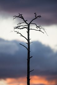Silhouette of a dead tree with sunset sky