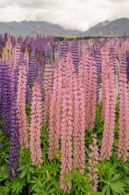 Lupines by the Lake Tekapo, New Zealand's South Island.