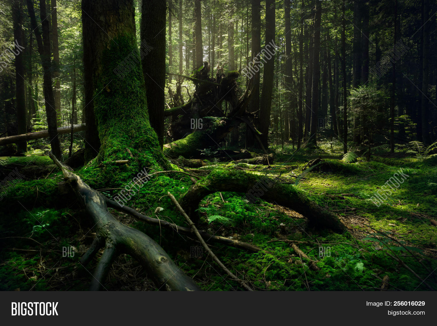 Dark Forest Forest Image Photo Free Trial Bigstock Free for commercial use no attribution required high quality images. dark forest forest image photo free