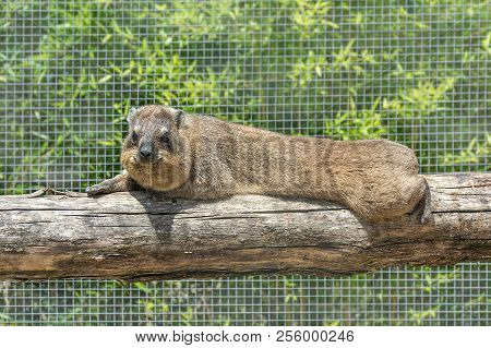 The Rock Hyrax Procavia Capensis, Also Called Rock Badger, Rock Rabbit, And Cape Hyrax Lies On A Log