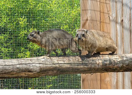 Couple Of Damans - The Rock Hyrax Procavia Capensis, Also Called Rock Badger, Rock Rabbit, And Cape
