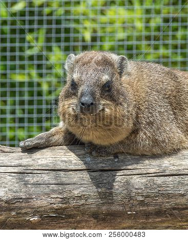 The Rock Hyrax Procavia Capensis, Also Called Rock Badger, Rock Rabbit, And Cape Hyrax Stands On A S