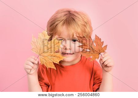 Cute Little Boy Plays In Autumn. Boy Holding Maple Leaves In Hands. Adorable Little Toddler Boy Play
