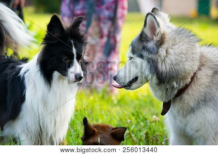 Dogs Play With Each Other. Siberian Husky. Border Collie. Merry Fuss. Aggressive Dog. Training Of Do