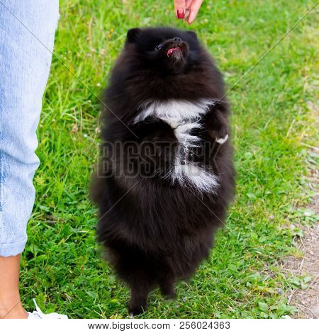Puppy Pomeranian Spitz listens to the owner and performs functions on the command. Obedient and intelligent dog. Education, cynology, intensive training of young dogs. Young energetic dog on a walk. poster