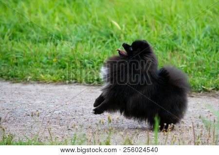 Puppy Pomeranian Spitz listens to the owner and performs functions on the command.Obedient and intelligent dog. Education, cynology, intensive training of young dogs. Young energetic dog on a walk. poster