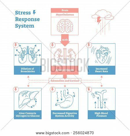Stress Response Biological System Vector Illustration Diagram,anatomical Nerve Impulses Scheme With