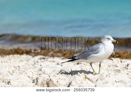 Ring-billed Gull (larus Delawarensis) On A Beach In The Bahamas. Yellow Bill With Dark Ring, Grey An