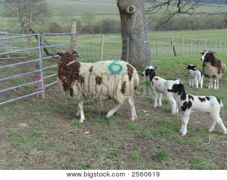 Jacob's Sheep with Lambs. Springtime.