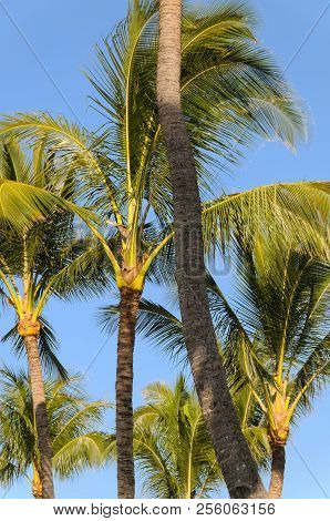 Hawiian Palm Trees Blowing In The Cool Morning Coastal Air.